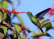 Kostarika- kolibrij