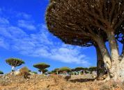 Jemen in Socotra-Drevesa zmajeve krvi