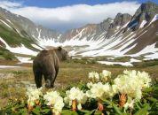 Kamčatka -medved