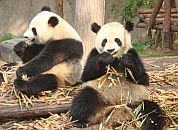Kitajska - Ljubke pande