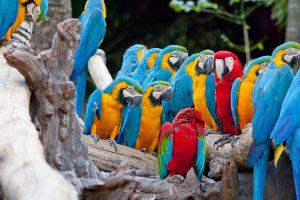Kostarika-papige