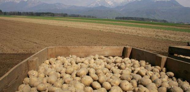 Krompirjeve počitnice