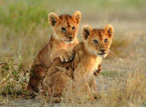 Levji mladiči