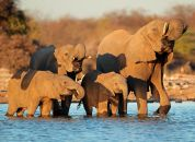 Namibija-Nacionalni park Etosha, sloni