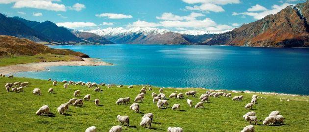 Nova Zelandija-ovce