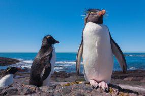 Patagonija-pingvini