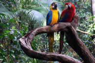 Venezuela-Papige