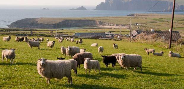 Irska-ovce