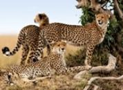 Kenija, Tanzanija-Leopard