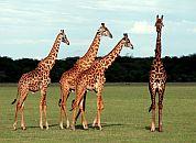 Podsaharska Afrika in njen živalski svet