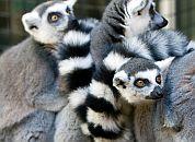 Madagaskar-Lemurji makiji