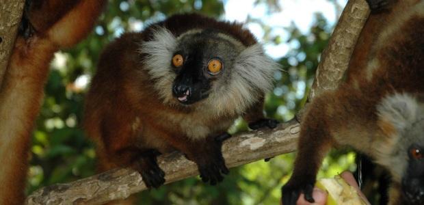 Madagaskar-Prečudovit živalski svet
