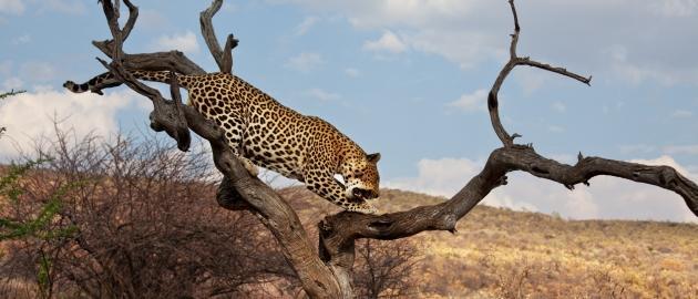 Namibija-Leopard