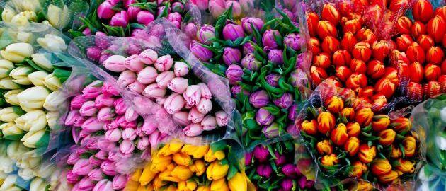 Nizozemska-Tulipani