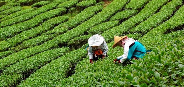 Šrilanka-Plantaže čajev