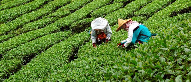 Šrilanka-čajeve plantaže