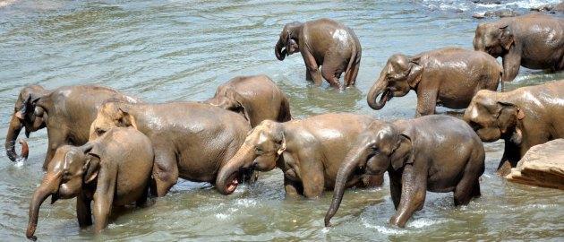 Šrilanka-Doživeta Šrilanka-Slonja čreda