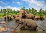 Šrilanka-Sloni