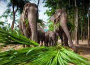 Tajska-Sloni-tha