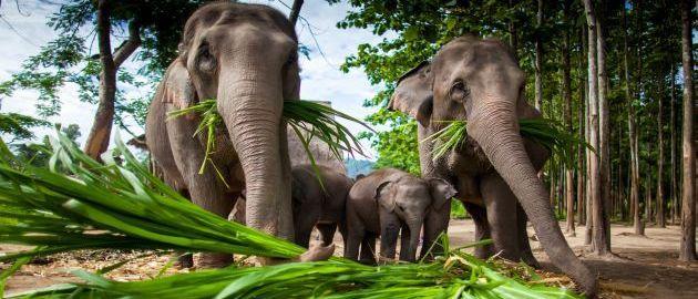 Tajska-Sloni