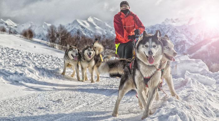 Aljaska-snežni psi