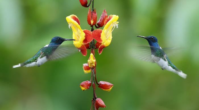 Ekvador- kolibrij_307010648
