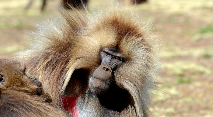 Etiopija-Simien-opica Gelada Baboon 3