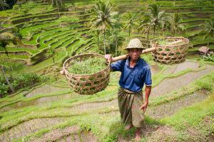 Indonezija-Bali, riževa polja