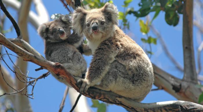 Koala_141480565