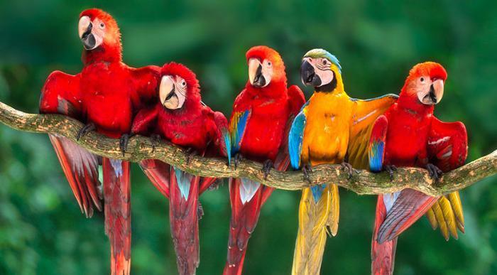 Peru-Tambopata-national-reserve-macaws