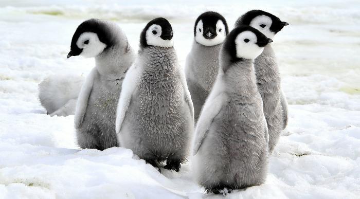 Pingvini_328830818