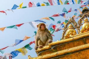 Nepal - Katmandu - opica