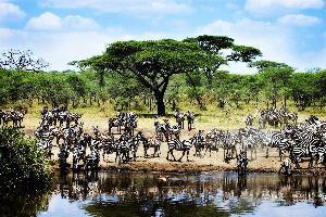 Tanzanija – Zebre