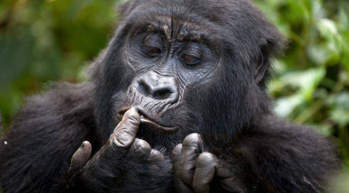 Uganda-gorila2