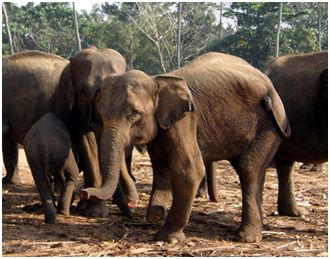 sloni41 - ČILI, SLONI IN ČAJ (Šri Lanka)
