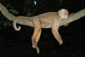 Še en prebivalec Amazonije