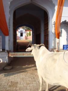 Sveta krava