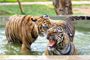 Tajska-Tigri