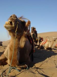 Svilena cesta-centralnoazijske dvogrbe kamele