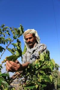 Vonj po Arabiji-Jemenska kava