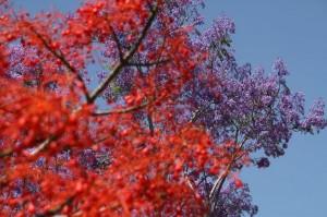 Madeira-Jacaranda in ognjeno drevo