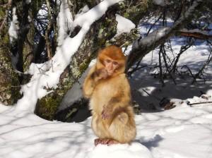 Maroko-Opica v snegu