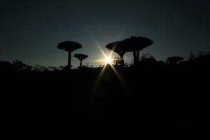 Jemen-Sokotra-Dracaena Cinnabari-Drevo zmajeve krvi
