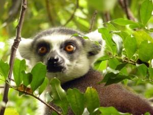 Madagaskar-NP Andasibe