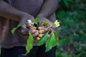 5. Nageljevi klinčki so bili dolgo vir bogastva na Zanzibarju