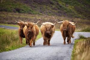7_Škotske dolgolaske