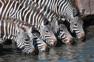 Zebre ob napajališču