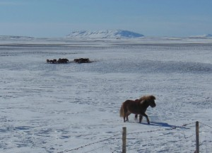 4. Islandski konji