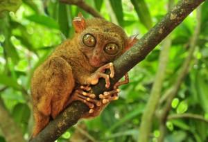 Filipini-Tarsier, najmanjši primat na svetu