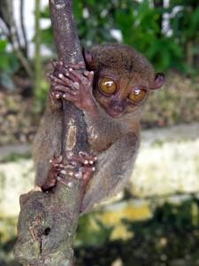 Filipini-tarzi, najmanjši primat na svetu